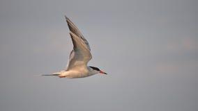 Latający ptak pospolity tern Obrazy Stock