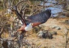 Latający Rybi Eagle Zdjęcia Stock