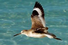 latający seabird Zdjęcia Royalty Free