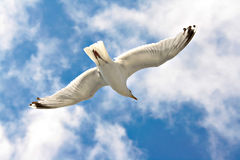 latający seagull Fotografia Royalty Free