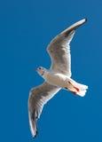 Latający seagull Obrazy Stock