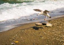 Latający seagull chwyta mussel na brzeg morze w Sochi Obraz Royalty Free