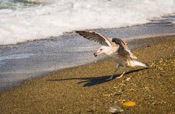 Latający seagull chwyta mussel na brzeg morze w Sochi Zdjęcie Stock