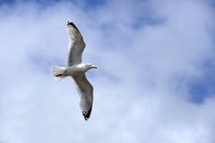 Latający seagull w niebie z chmurami Fotografia Stock