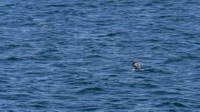 Latający seagull z chorwackim morzem w tle Zdjęcia Stock