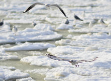Latający Seagulls Zdjęcia Stock