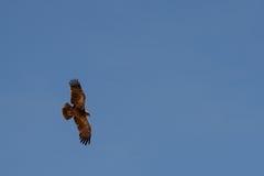 Latający Tawny Eagle w niebieskim niebie, Namibia Obraz Royalty Free