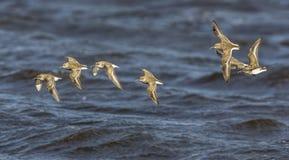 Latający upriver Zdjęcia Royalty Free