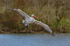 Latający Biały pelikan, Pelecanus erythrorhynchos nad woda, Zdjęcia Royalty Free