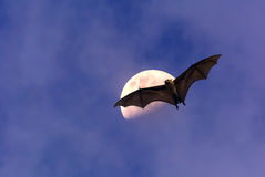 Latający Fox lub owocowy nietoperz nad ciemnym niebem Zdjęcia Royalty Free