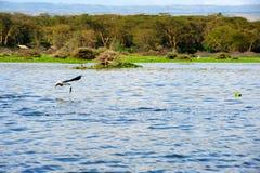 Latający ptak Kenja Afryka) - Jeziorny Naivasha (- Fotografia Stock