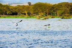 Latający ptak Kenja Afryka) - Jeziorny Naivasha (- Zdjęcia Royalty Free