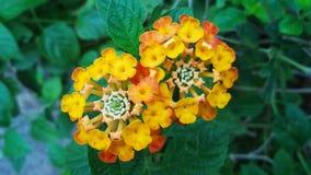 Latana Camara kwiaty Zdjęcia Royalty Free