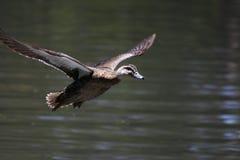 latanie kaczki fotografia royalty free