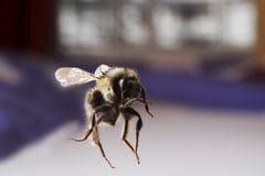 latanie pszczół obrazy stock