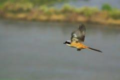 latanie ptaka Zdjęcie Stock