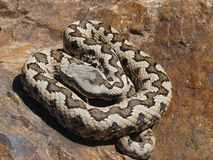 Lataste ` s蛇蝎 库存图片