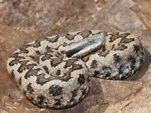 Lataste ` s蛇蝎 库存照片