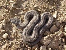 Lataste ` s蛇蝎 图库摄影