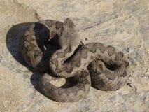 Lataste ` s蛇蝎 免版税库存图片