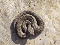 Lataste ` s蛇蝎 免版税图库摄影