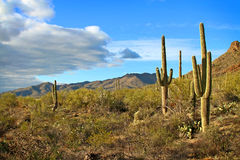 Late afternoon desert landscape. Saguaro cactus and desert landscape with clouds in late afternoon light Royalty Free Stock Image
