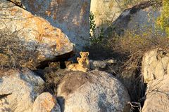 Late afternoon high in the rocks are pride of lion cubs await the return of their parents with food royalty free stock photo