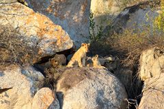 Late afternoon high in the rocks are pride of lion cubs await the return of their parents with food royalty free stock images