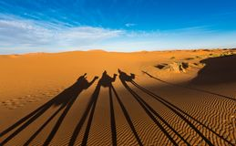 Late afternoon shadows of Dromedary camels and caravan led by Tuareg man in Merzouga, Erg Chebbi, Morocco. Africa stock images