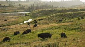 Free Late Afternoon Shot Of A Bison Herd By The Lamar River In Yellowstone Stock Photo - 160785830