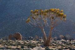 Late Afternoon Sun on Quiver Tree Stock Photos
