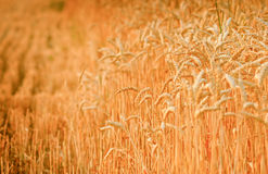 Late afternoon on a wheat field Royalty Free Stock Photo
