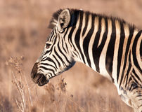 Late afternoon Zebra with mouth full Stock Image