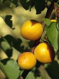 Late apricots on the branch of the tree. Full sun at june royalty free stock images
