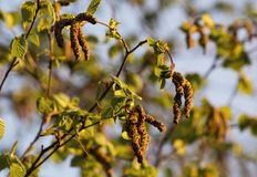 In late April, new leaves and earrings appeared on the alder tree. stock images