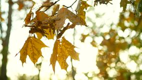 Late autumn leaves branch. Late autumn. Autumn leaves a branch and sways in the wind stock video