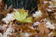 Yellow maple leaf among withered leaves under the tree. Autumn concept. stock photos