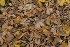 Late autumn brown faded horse chestnut leaves background. Late autumn brown faded fallen horse chestnut leaves in the park background Royalty Free Stock Photo
