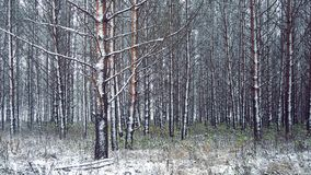 Late autumn and the first snow on the edge of a pine forest. Ate Autumn, the first snow in the park Stock Photography