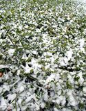 Late autumn. First snow. Glade with green shamrocks clover sprinkled with fresh pure white snow. stock images