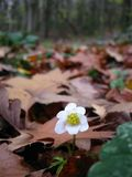 Late autumn flower anemona in the forest stock photography