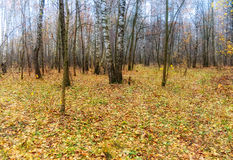 Late autumn forest Stock Photography
