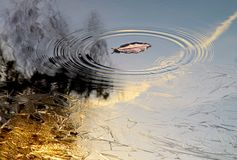 Late autumn. Frosty golden sunrise reflected on lake surface. Part of the lake was covered with a thin layer of ice. Falling leaves create ripples. Autumn wind Royalty Free Stock Photos