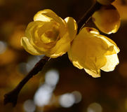 Late autumn golden wintersweet Royalty Free Stock Photography