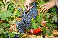 Late autumn grape harvest Royalty Free Stock Images