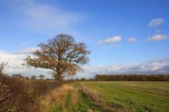 Late autumn landscape. A late autumn landscape with a mature oak tree hedgerows and unplowed stubble fields under a blue sky Stock Images