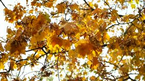 Late autumn leaves branch. Late autumn. Autumn leaves a branch and sways in the wind stock footage