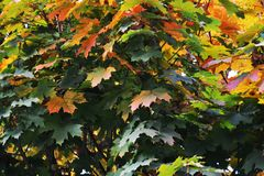 Autumn leaves, yellow green natural background, close up Stock Image