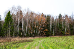 Late autumn in pine forest, open field. Late autumn in pine forest, path into the woods Royalty Free Stock Photo