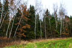 Late autumn in pine forest. Path into the woods Royalty Free Stock Image
